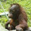 Stock Photo: Baby Orangutin its Zoo Enclosure