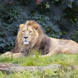 Stock Photo: Male Lion Lies in Zoo