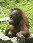 A Baby Orangutan in its Zoo Enclosure — Stock Photo