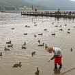 A Boy Feeds the Ducks at Coniston — Stock Photo #14245795