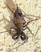 A Vinegaroon, Also Known as Whip Scorpion — Stock Photo