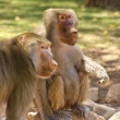 Stock Photo: Pair of Baboons, in Genus Papio
