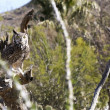 A Great Horned Owl in the Sonoran Desert — Stock Photo