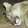 A Mountain Lion Sleeping in its Den - Stock Photo
