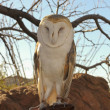 A Barn Owl on a Zoo Docent&#039;s Glove - Stock Photo
