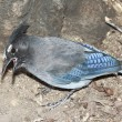 A Steller's Jay Gathering Food from the Ground - Stock Photo