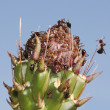 Ants Tend Aphids on a Cholla Bud — Stock Photo
