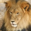 A Portrait of an African Lion Male — Stock Photo