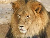 Портрет мужчины африканского льва — Стоковое фото
