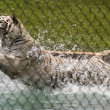 A White Tiger Leaps into its Pool — Stock Photo
