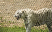 An Angry White Zoo Tiger Growls His Displeasure — Stock Photo