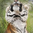 Stock Photo: Portrait of Stretching Bengal Tiger