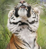 A Portrait of a Stretching Bengal Tiger — Stock Photo