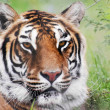 Stock Photo: Portrait of Bengal Tiger in Forest
