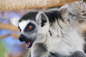 A Portrait of a Ring-tailed Lemur — Stock Photo