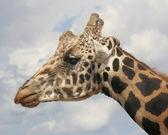 A Giraffe Head Against the Sky — Stock Photo