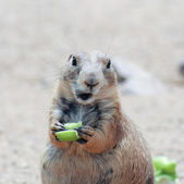 A Prairie Dog Eating a Piece of Celery — Stock Photo