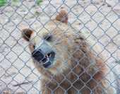 A Grizzly Bear in a Zoo Cage — Stock Photo