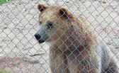A Curious Grizzly Bear in a Zoo Cage — Stock Photo