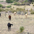 Stock Photo: Mustang Herd, Known as Wild or Feral Horses