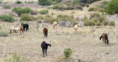 A Mustang Herd, Known as Wild or Feral Horses — Stock Photo