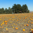 A Huge Patch Full of Fall Pumpkins — Stock Photo
