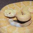 Albino Western Diamondback Rattlesnake, Crotalus atrox — Stock Photo #36355041