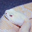 An Albino Western Diamondback Rattlesnake, Crotalus atrox — Stock Photo #36565865