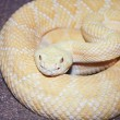 An Albino Western Diamondback Rattlesnake, Crotalus atrox — Stock Photo