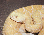An Albino Western Diamondback Rattlesnake, Crotalus atrox — Stock Photo