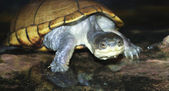 A Close Up Yellow Mud Turtle — Стоковое фото