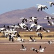 Snow Geese Flock Races Past Rural Landscape — Stock Photo #41564815