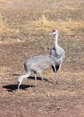 A Pair of Sandhill Cranes in a Field — 图库照片
