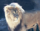 A Male Lion with a Sunlit Mane — Stock Photo