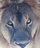 A Male Lion's Eyes in Close Up — Stock Photo
