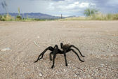 A Costa Rican, also known as Desert, Tarantula — Stock Photo
