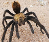 A Close Up Costa Rican, also known as Desert, Tarantula — Stock Photo