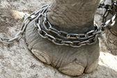 Elephant foot — Stock Photo