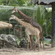 Stock Photo: Big giraffes in zoo
