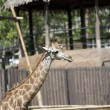 Stock Photo: Big giraffe in zoo