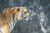 Bouchent tigre — Photo