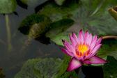 Lotus Flower — Stockfoto
