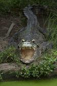 Big crocodile — Stock Photo