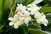 Tropical flowers frangipani — Stock Photo