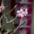Adenium Blossom Impala Lily — Stock Photo