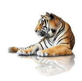 Tiger- isolated on white background with reflection, a shadow. — Stock Photo