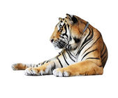 Tiger- isolated on white background — Stock Photo