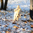 Running labrador retriever puppy — Stock Photo