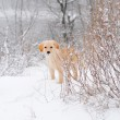 Labrador retriever puppy in the snow — Stock Photo