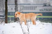 Labrador retriever puppy in the snow — Stock Photo
